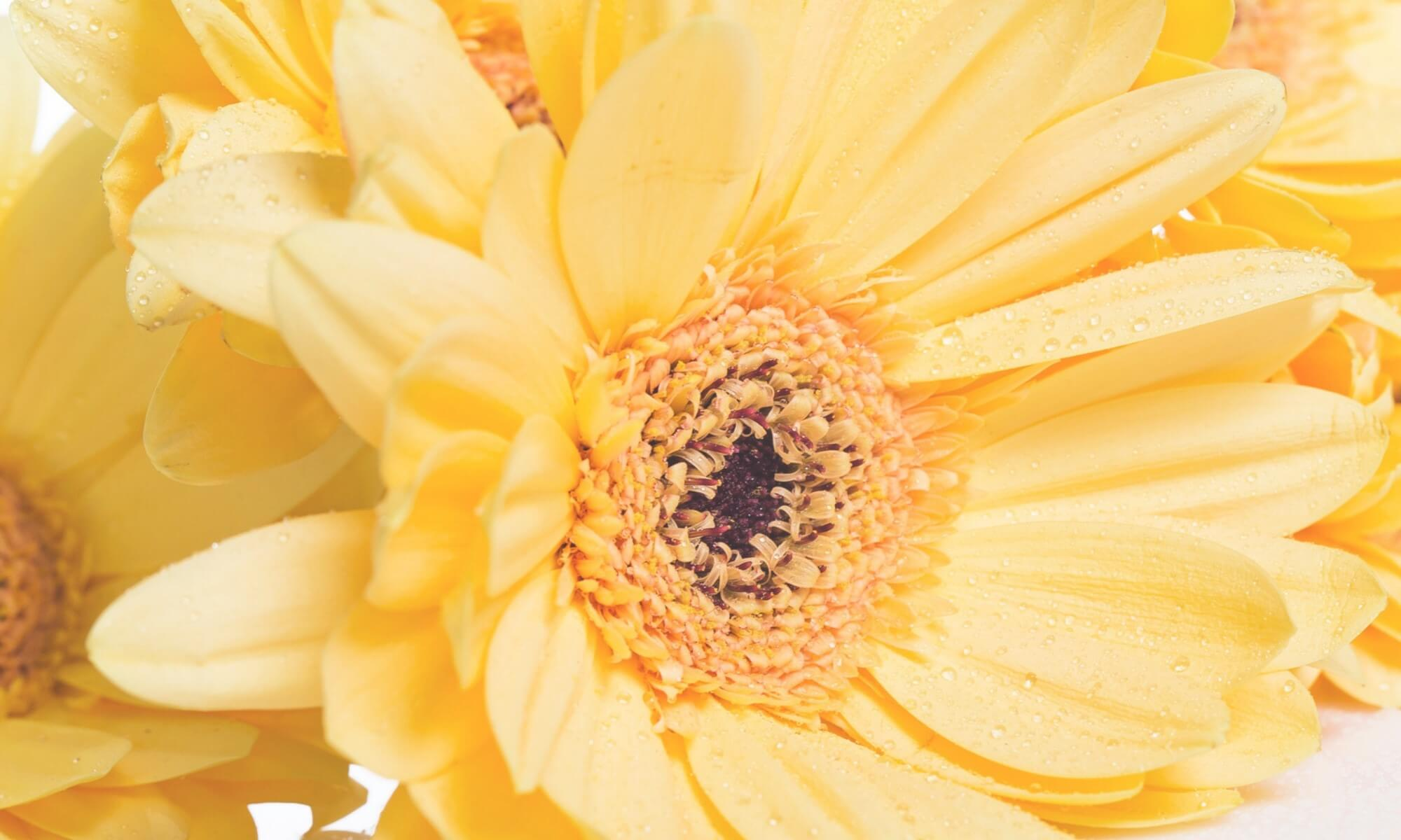 beautiful background of sunny, cheerful yellow daisies